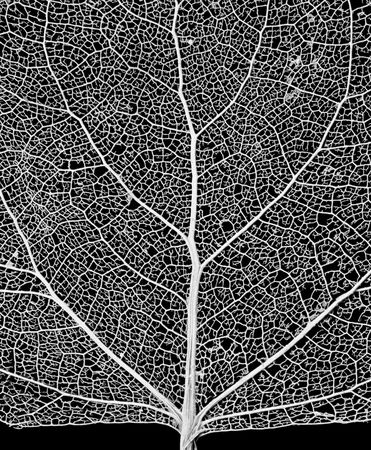 Leaf Skeleton Network - close-up of a cottonwood tree leaf skeleton - showing its vascular network