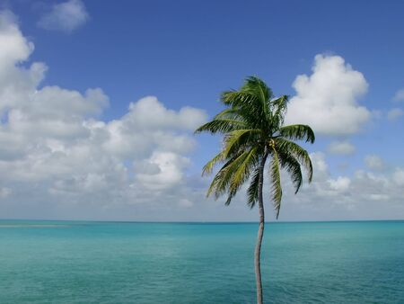 Coconut Palm Tree, in the Florida Keys, overlooking the ocean
