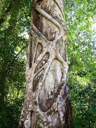 encroach: Strangler Fig Roots Strangle A Cypress Tree