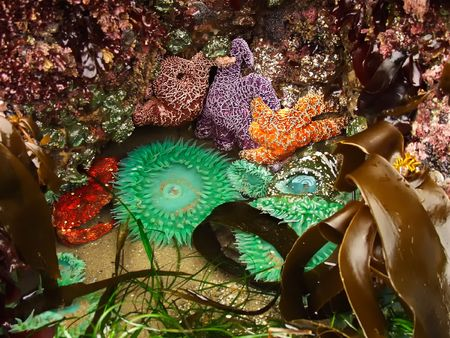 barnacles: A close-up of tide pool sea life- starfish, anemones, seaweed, kelp, crab, barnacles, and etc.