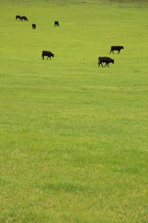 husbandry: Black Angus beef cattle grazing in a lush pasture
