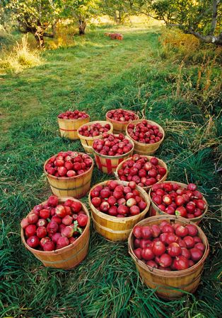 apple orchard: Old-fashioned apple orchard harvest