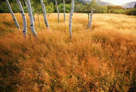 Aspen trees in a golden meadow -  panoramic scenic landscape Stok Fotoğraf