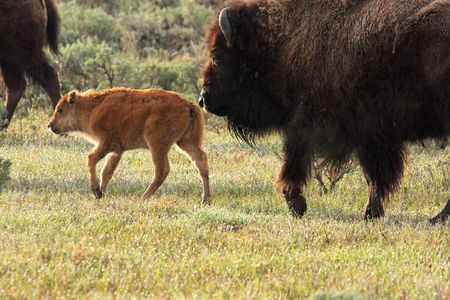 A Wild America Bison Calf and Cow Reklamní fotografie