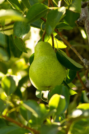 Pear in orchard