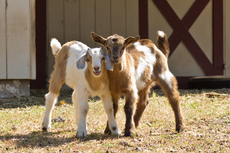 two goat friends in front of barn Фото со стока