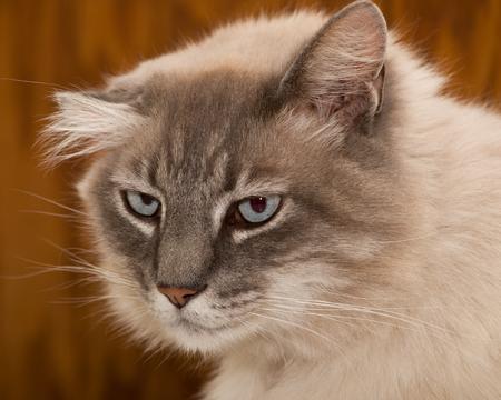 blue eye white siamese cat