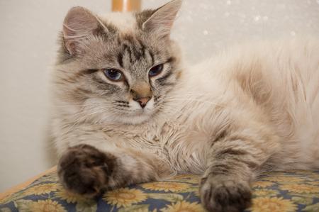 blue eye siamese cat