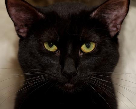 yellow green eye black cat portrait Фото со стока
