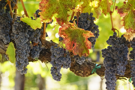 purple wine grapes on vines early fall