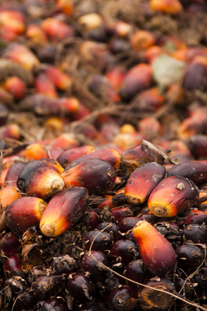 Palm Fruit to produce CPO