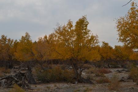 cottonwood tree: Populus