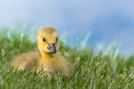 Relaxed gosling, resting in the green grass by the waterfront Archivio Fotografico