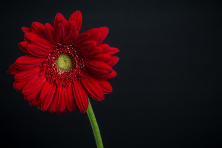 Daisy on an isolated black background with ad space