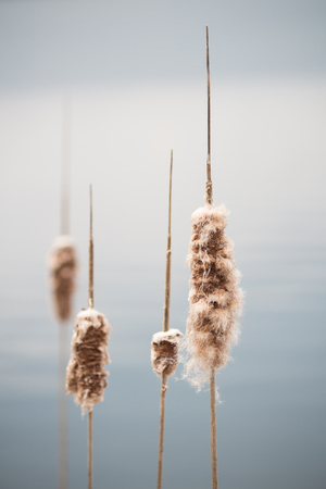 Cattails over the water in a soft background and muted color