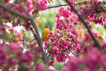 spring time with an oriole framed in the crabapple blooms