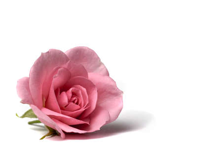 A pink garden rose isolated on a white background for valentines day