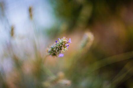 lavendin: blurred magnificent lavender