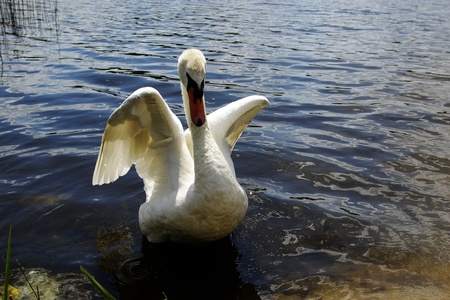wild swan swimming by the lake  photo