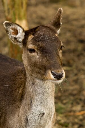 fallow deer: Wild fallow deer,  portrait on natural background