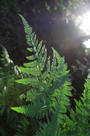 fern leaf as nature background with beam of light in the corner photo