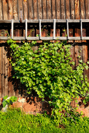 green vine on barn wall wood background photo