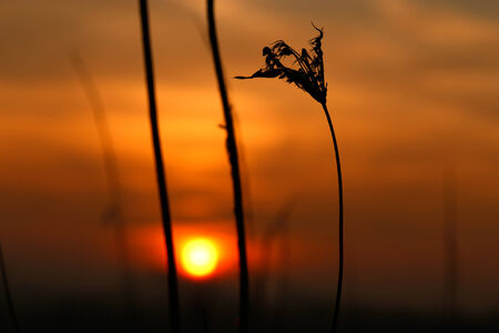 blade of grass on red sky beautiful landscape  photo