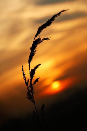 nostalgy: blade of grass on sunshine sky beautiful landscape