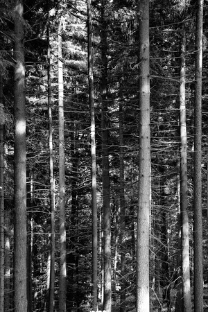 pine trees forest black and white natural photo