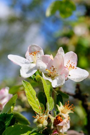 apple flowers on natural blue sky background photo