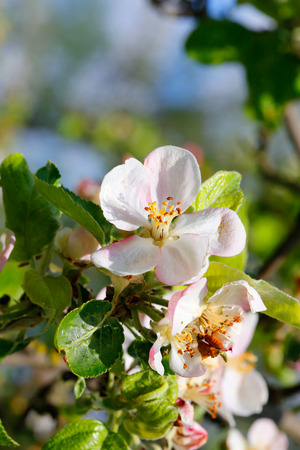 apple flowers photo