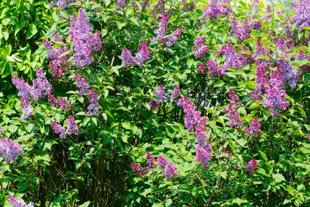 fresh violet flowers in the garden photo