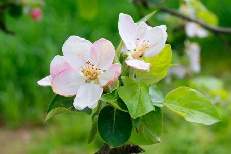 apple flowers on natural green background photo