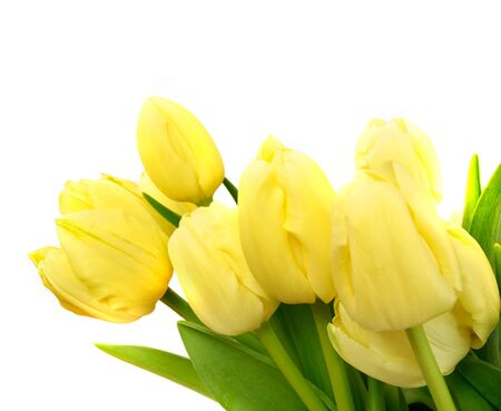 lowers: yellow tulip flowers isolated on white background, may use as greeting card template Stock Photo