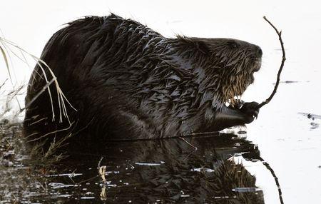 Beaver on Bank