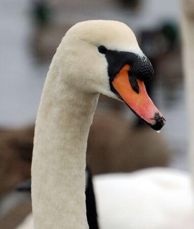 Swan Фото со стока