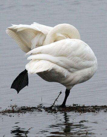 Trumpeter Swan Фото со стока - 4999770