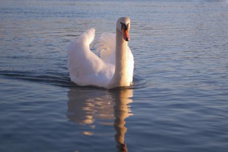 west sussex: Swan - Bosham, West Sussex, England