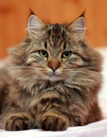 greeneyes: Cat, cute kitty lying on the bed Stock Photo