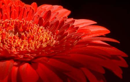 Red gerber flower macro