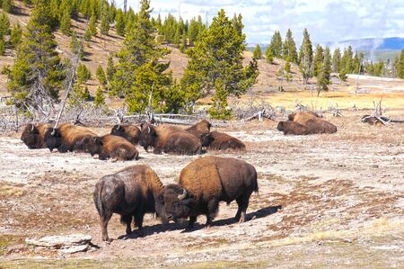 thundering: American Bison  Buffalo  in Yellowstone National Park