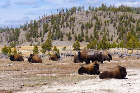 thundering: American Bison (Buffalo) in Yellowstone National Park, Wyoming