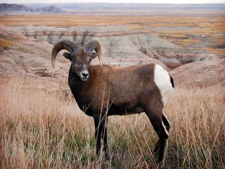 rocky mountain bighorn sheep: Bighorn Sheep Ram & Ewe in Badlands National Park, South Dakota, panoramic view Stock Photo