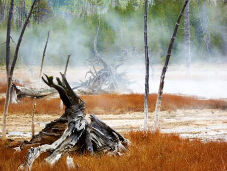 Yellowstone National Park, Wyoming, United States, dead trees caused by sulphuric soil condition in a geothermal area Stock Photo - 18648564