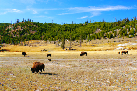 thundering: American Bison  Buffalo  in Yellowstone National Park, Wyoming Stock Photo
