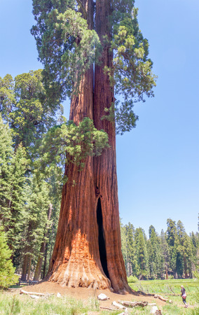 redwood: big sequoia trees are standing in Sequoia National Park, USA