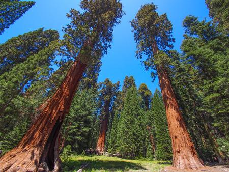 セコイア国立公園、アメリカで有名な大きなセコイアの木が立っています。 写真素材
