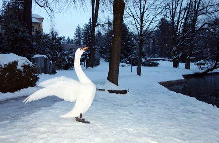 bled: Upright White Swan, Bled lake, Bled, Slovenia, Europe