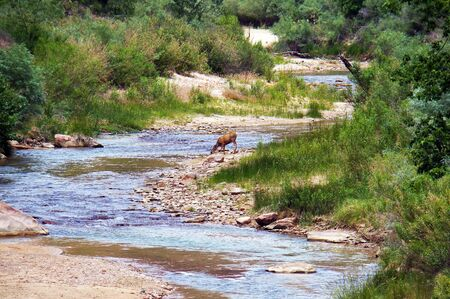 yellow tailed: A mule deer Odocoileus hemionus in Zion National Park, Utah, USA