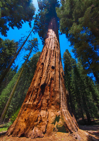 The famous big sequoia trees are standing in Sequoia National Park, USA